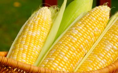 Šúľky kukurice prirovnávali Mayovia k zlatu.