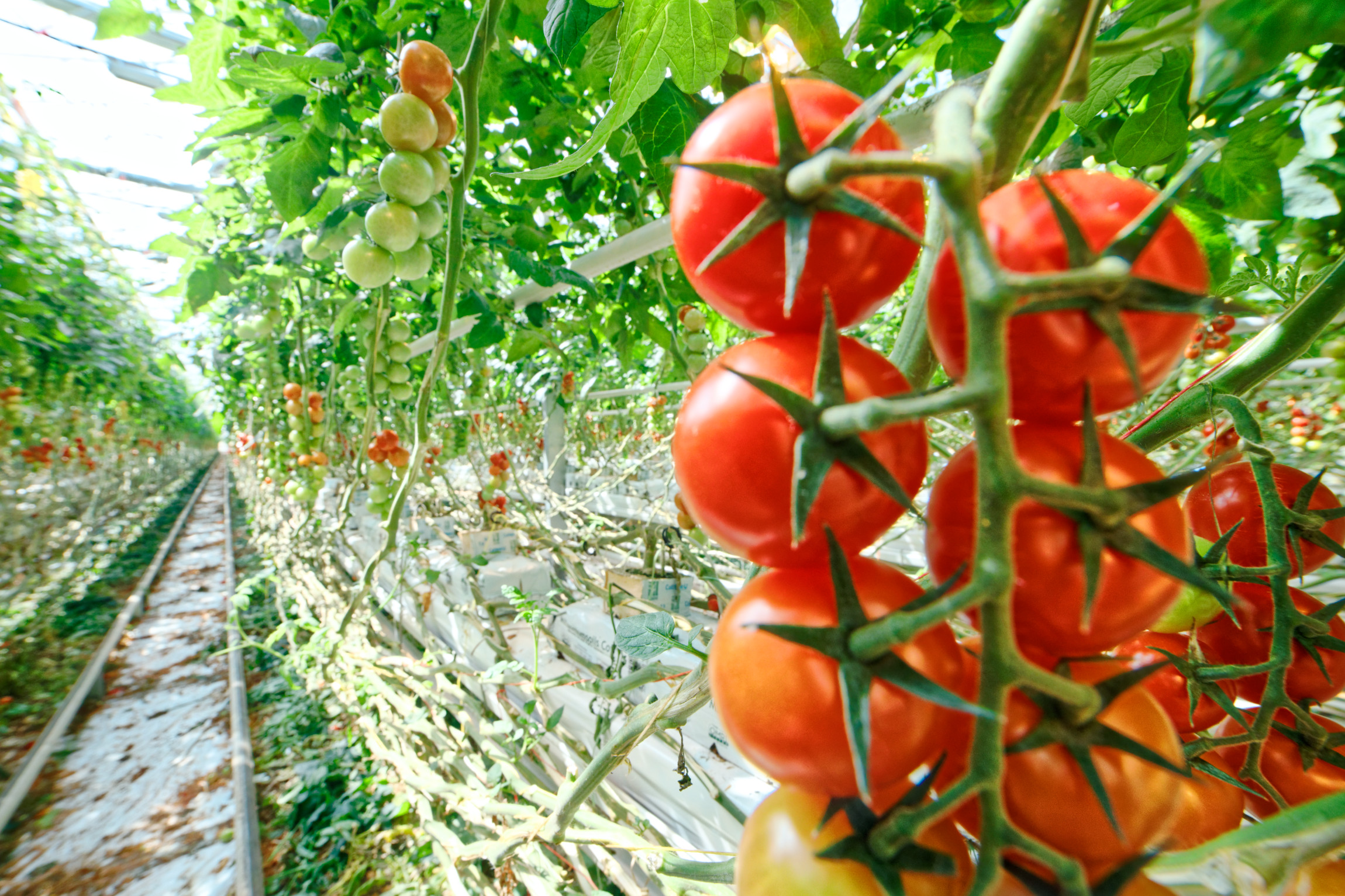 Kvalitné domáce paradajky od slovenských farmárov si môžu celoročne vychutnať zákazníci Tesca. Reťazec od novembra minulého roka spustil spoluprácu so spoločnosťou Paradajkovo z Bratislavy, ktorá dodáva do predajní Tesco tie najlepšie slovenské cherry paradajky.